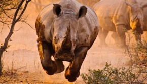 Charging-Rhino-800x529